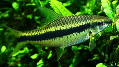 Photo of Cá Bút Chì – Siamese Algae Eater – Crossocheilus siamensis