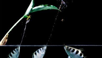 Photo of Cá Cao Xạ Pháo – Archer Fish – Toxotes jaculatrix