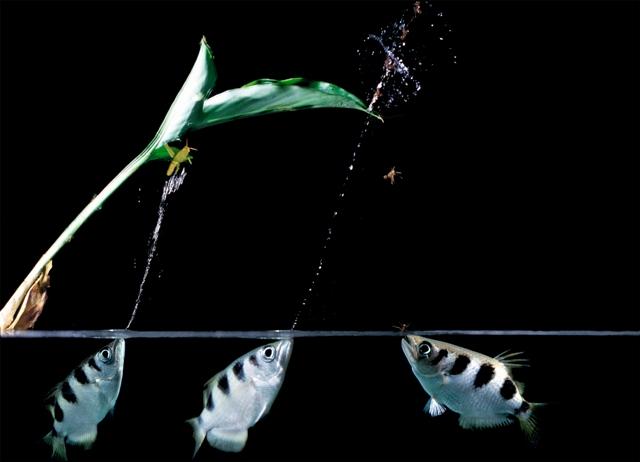 Hình ảnh cá Cao Xạ Pháo