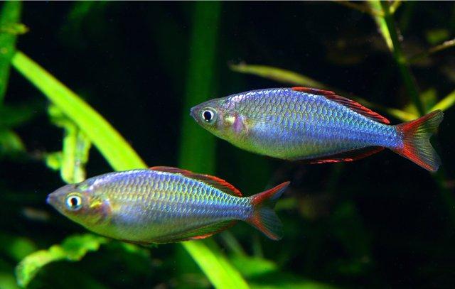 Hình ảnh cá Cầu Vồng Neon