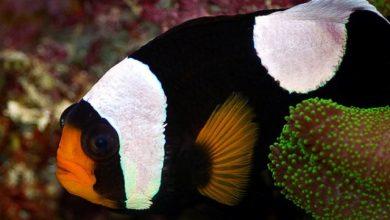 Photo of Cá Hề – cá Khoang Cổ – Saddleback Clownfish- Amphiprion polymunus