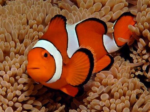 Hình ảnh của cá Hề