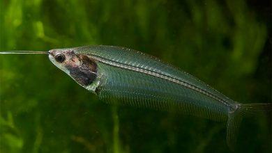 Photo of Cá Thủy Tinh – Ghost Glass Catfish- Kryptopterus bicirrhis