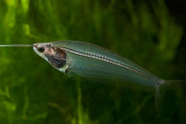 Hình ảnh của cá Thủy Tinh