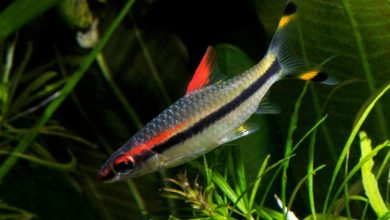 Photo of Cá Tên Lửa – Denison Barb – Barbus denisonii