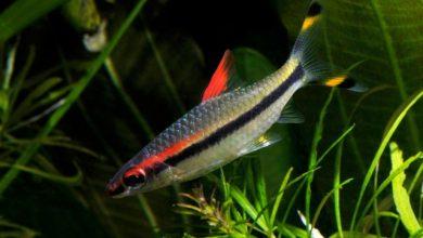 Hình ảnh cá Tên Lửa