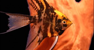 Hình ảnh cá Thần Tiên 3 màu vây dài