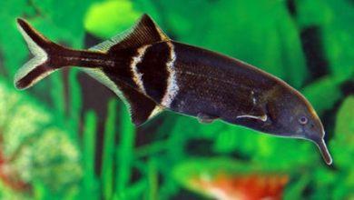 Hình ảnh của cá Vòi Voi