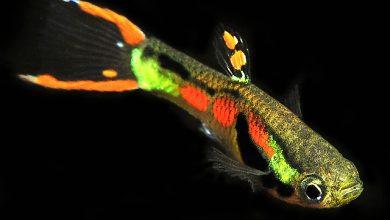 Photo of Cá Bẩy Màu Rừng – Endler's Livebearer – Poecilia sp.