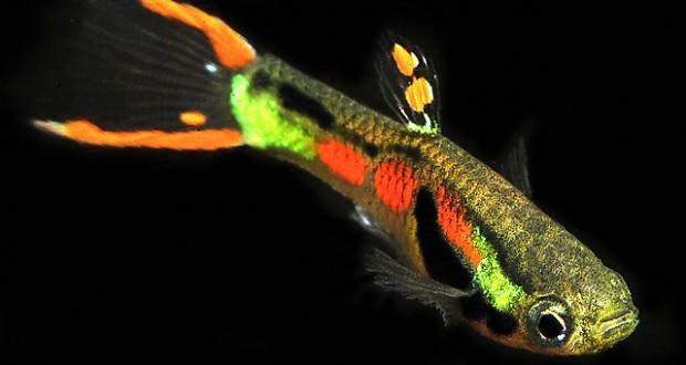 Cá Bẩy Mầu Rừng đặc điểm Sinh Học Và Cách Chăm Sóc
