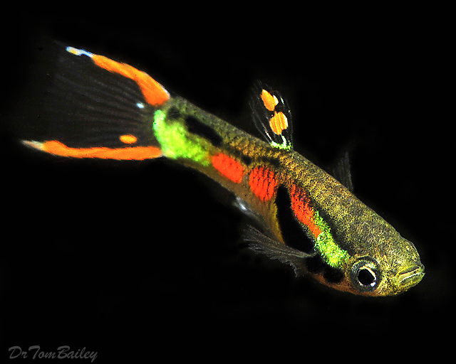 Hình ảnh cá Bẩy Mầu Rừng