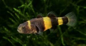Hình ảnh cá Bống Mắt Tre