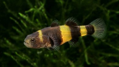Photo of Cá Bống Mắt Tre – Bumble Bee Goby – Brachygobius doriae