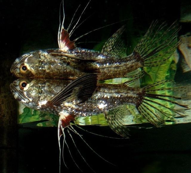 Hỉnh ảnh cá Bướm Châu Phi