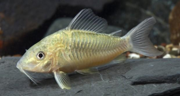 Hình ảnh Cá Chuột Ngọc Trai