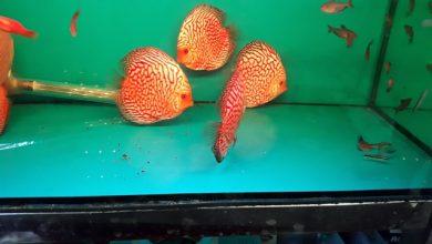 Hình ảnh cá Đĩa Bồ Câu size 10