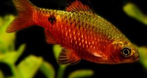 Hình ảnh cá Mai Quế