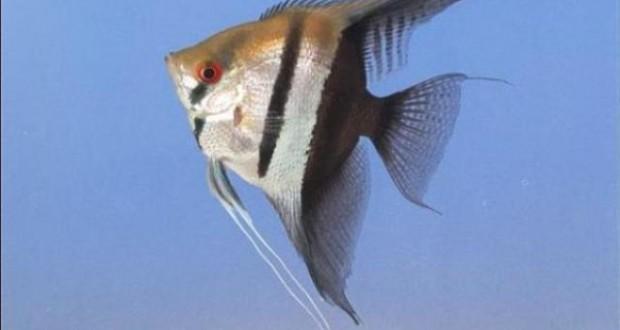 Hình ảnh cá Thần Tiên Bán Nguyệt