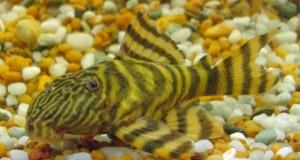 Hình ảnh cá Tỳ Bà Hổ