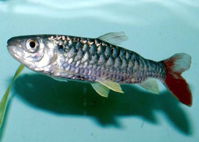 Hình ảnh cá Thủy Lôi