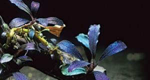 Hình ảnh cây thủy sinh Bucephalandra