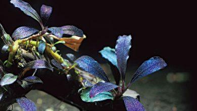 Photo of Cây Bucephalandra – loài thủy sinh mới lạ của thế giới