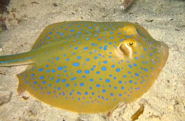 Hình ảnh cá Đuối Chấm Xanh