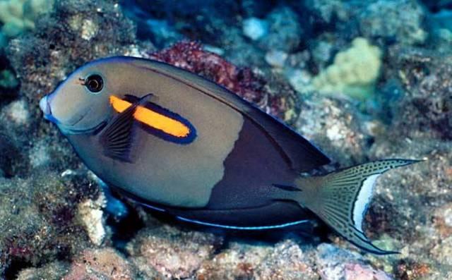 Hình ảnh Cá Bắp Nẻ Ngòi Bút
