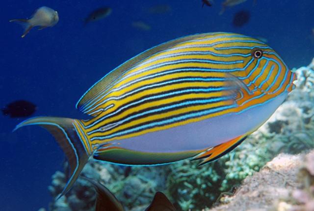 Hình ảnh Cá Bá Tước