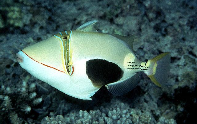 Hình ảnh cá Bò Mi Vẽ