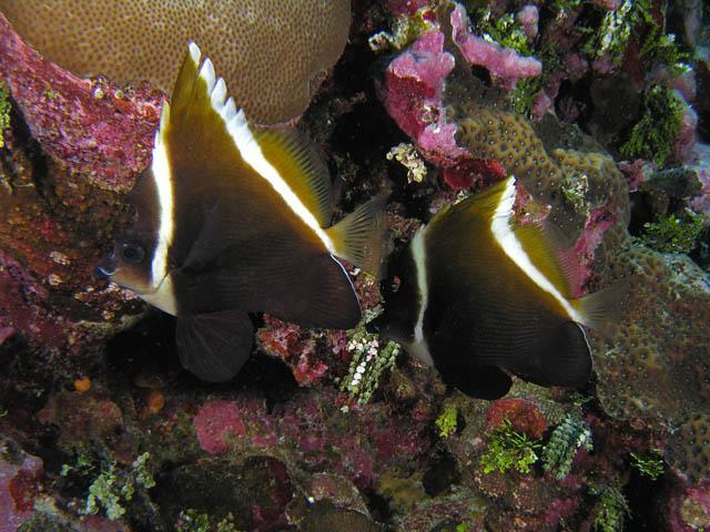 Hình ảnh cá Chim Cờ Dơi