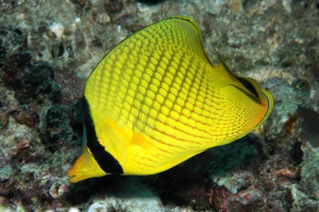 Hình ảnh Cá Đào Sọc Vàng