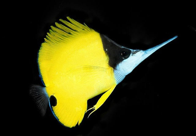 Hình ảnh Cá Chim Sâu
