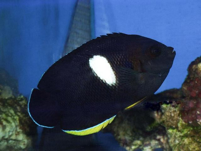 Hình ảnh Cá Hoàng Anh Đen