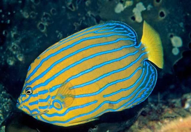 Hình ảnh Cá Hoàng Hậu Đuôi Vàng