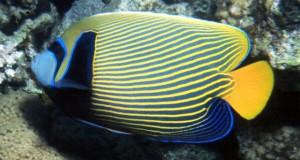 Hình ảnh Cá Hoàng Đế
