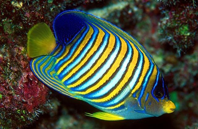 Hình ảnh Cá Hoàng Gia