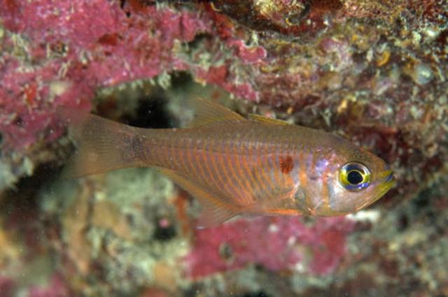 Hình ảnh cá Sơn Mắt Trắng