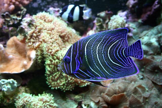 Hình ảnh cá Chim Xanh