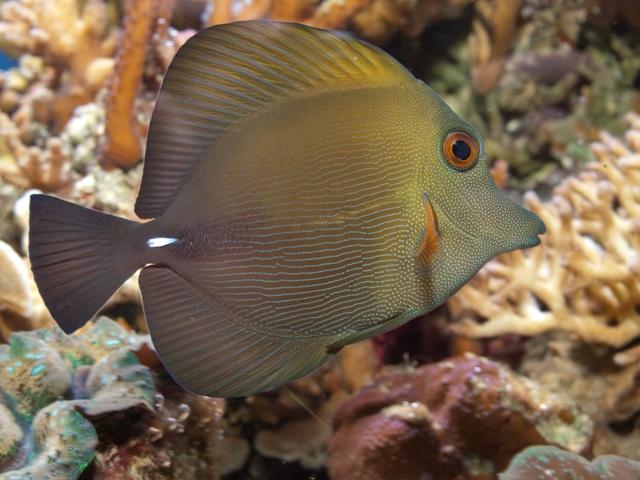 Hình ảnh cá Xì Bích