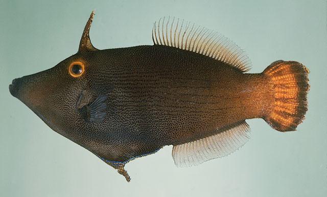 Hình ảnh Cá Bò Sừng Đuôi Đỏ