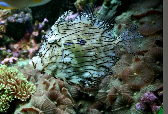 Hình ảnh Cá Bò Vằn Gai