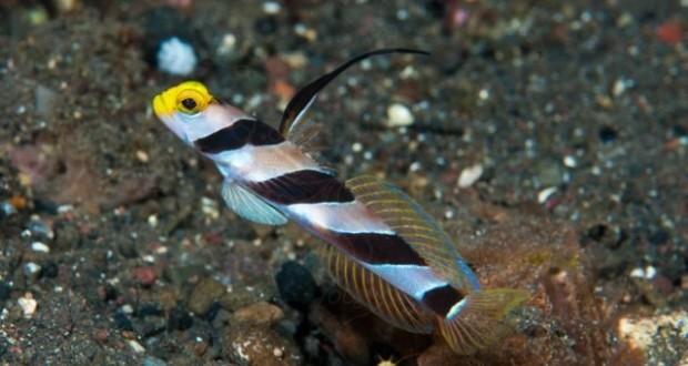 Hình ảnh Cá Bống Sọc Mỏ Vàng