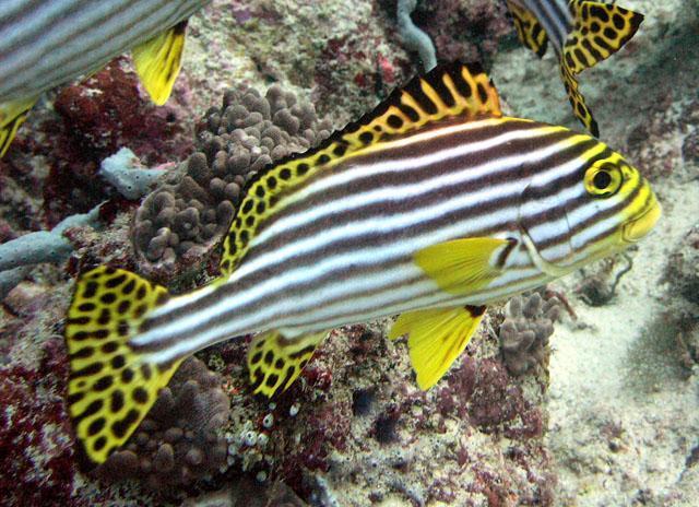 Hình ảnh Cá Kẽm Sọc Vàng