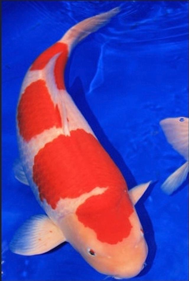 Hình ảnh Cá Koi Sandan Kohaku