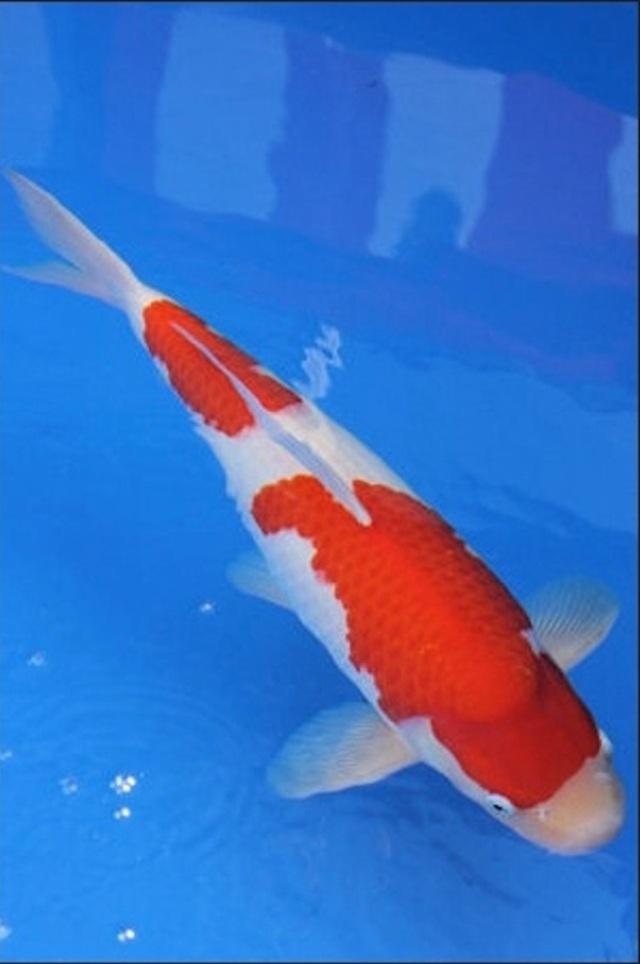 Hình ảnh Cá Koi Nidan Kohaku