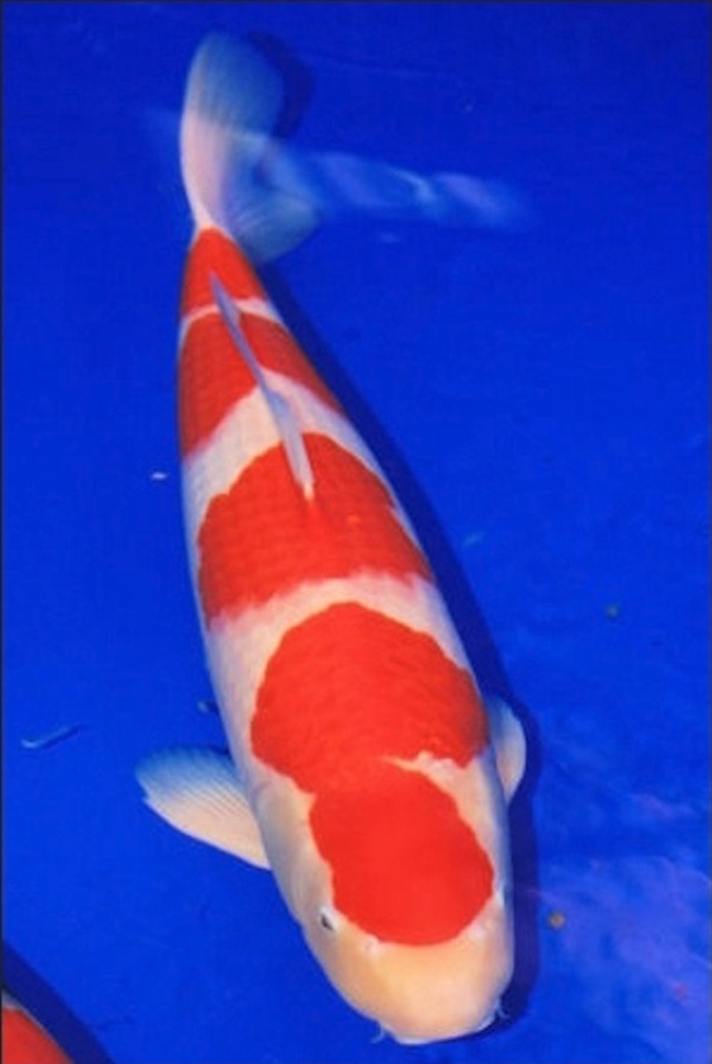 Hình ảnh Cá Koi Yodan Kohaku