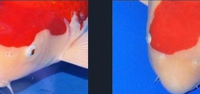Photo of Cách chọn cá koi Kohaku