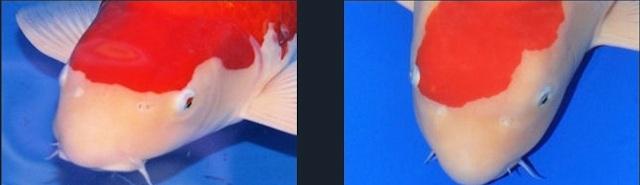 Hình ảnh đầu cá koi Kohaku