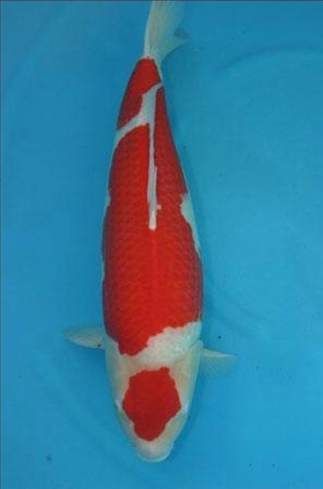 Hình ảnh Cá Koi Maruten Kohaku